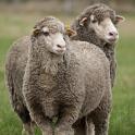 smuk-lamse